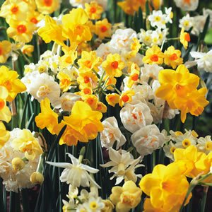 aJonquil_Mixed_15_VIS.