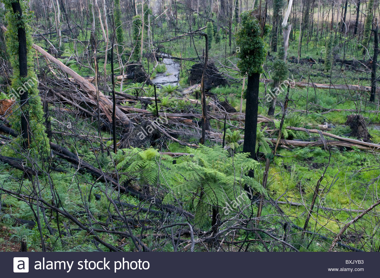 fire-damaged-trees-and-bush-showing-regrowth-a-year-after-a-bushfire-BXJYB3.