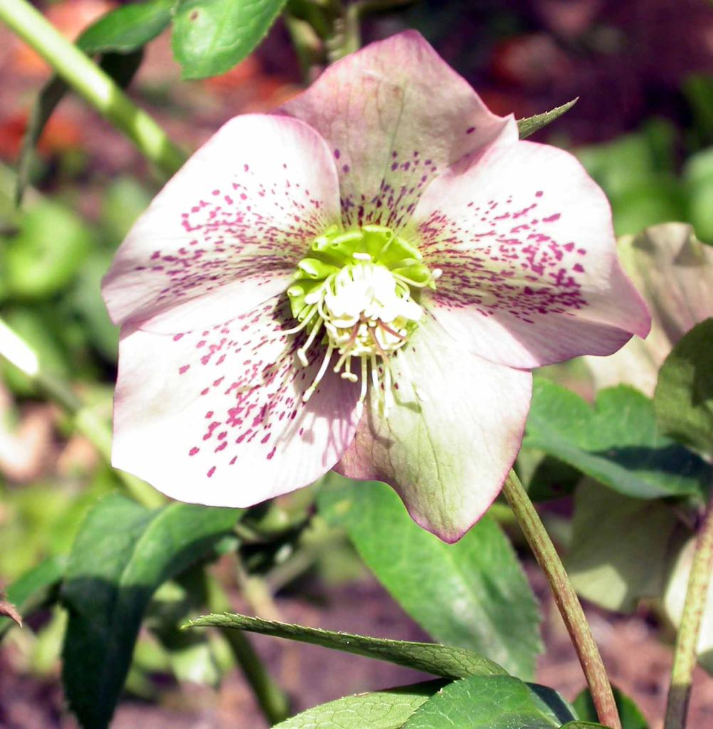 Flowers%20Hellebours%20White%20burgandy%20speckled%208-03.