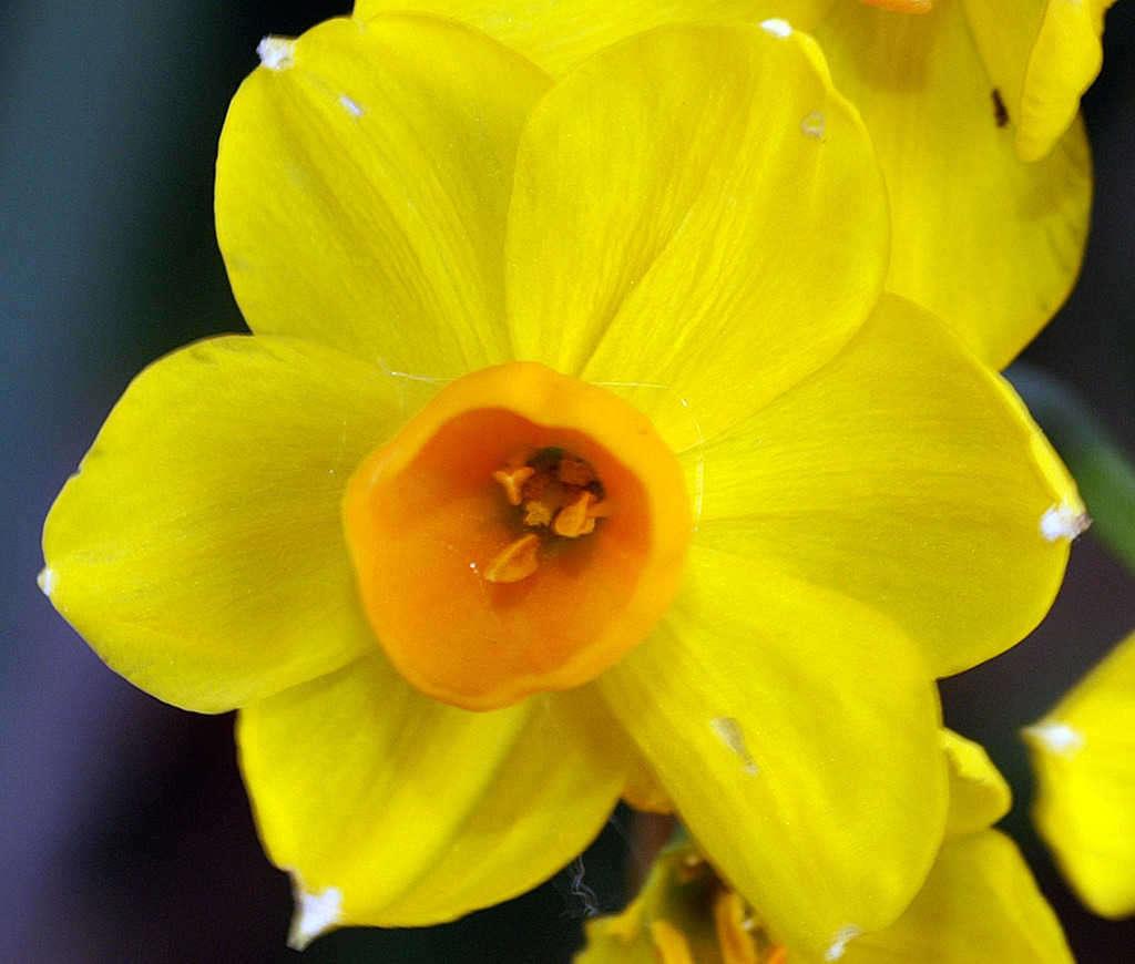 jonquil%20Golden%201%20%20%204.9.17%20%20%20edited-1.