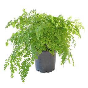 maidenhair-fern-200mm.